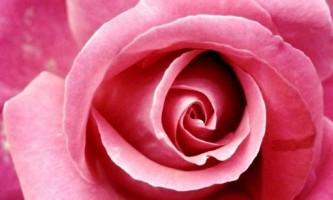 Посадка троянд восени
