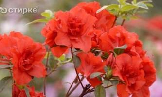 Як правильно доглядати за кімнатної і садової азалій
