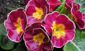 Примула: як виростити весняний первоцвіт
