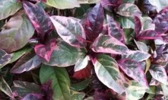 Псевдерантемум: вирощування і догляд
