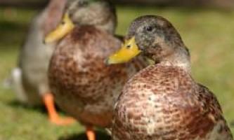 Пташиний грип - смертельна загроза або звичайна хвороба?