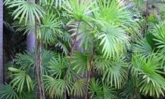 Рапіс - пальма для будинку