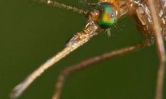 Розкрито секрет імунітету комарів
