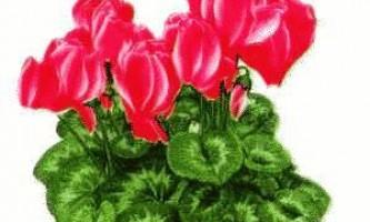 Розмноження і вирощування цикламена в домашніх умовах