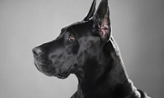 Різновиди породи собак дог