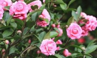 Розведення камелії будинку: посадка, догляд і розмноження