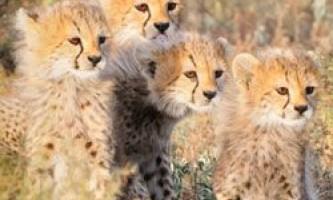 Рідкісні азіатські гепарди ласують тваринами