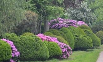 Рододендрон посадка і догляд