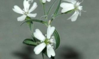 Російські вчені оживили квітка, якому 32 тис. Років