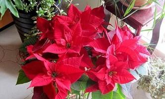 Різдвяна зірка пуансеттия