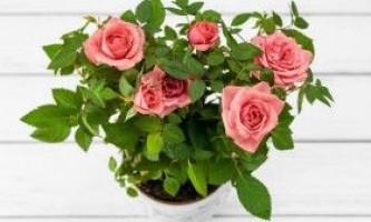 Троянди: вирощування і догляд в умовах приміщень