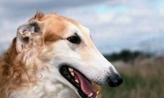 Російські породи собак