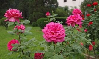 Садова троянда: як виростити розкішний кущ