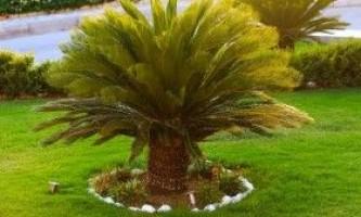 Сагова пальма цикас: догляд і вирощування