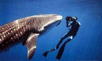 Найбільша акула в світі?