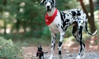 Найбільша собака в світі