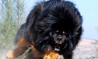 Найдорожча собака в світі