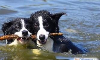 Найрозумніша собака в світі