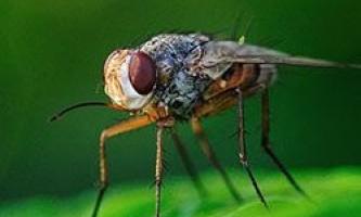 Самці плодових мушок заливають горе алкоголем