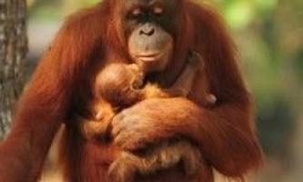 Самка орангутанга, що кинула палити, змогла народити малюка