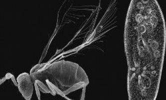 Найменше комаха, яке менше амеби