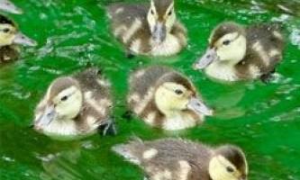 Найрідкіснішу качку на світі ще можна врятувати