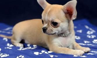 Найменші породи собак