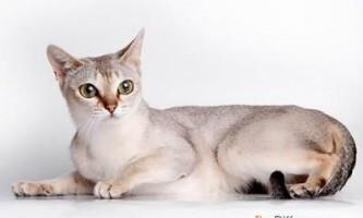 Найменший кіт у світі