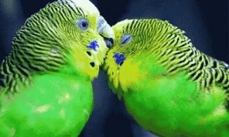 Хвилясті папуги в домашніх умовах