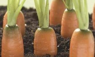 Секрети морквини