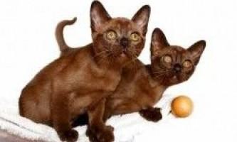 Симптоми сказу у кішок
