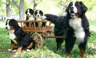 Зміст собаки бернський зенненхунд