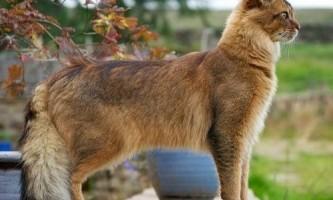 Сомалійська кішка, особливість породи