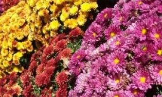 Сорти хризантем, вирощування в саду