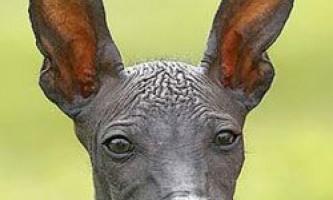 Сучасні породи собак генетично не схожі на своїх предків