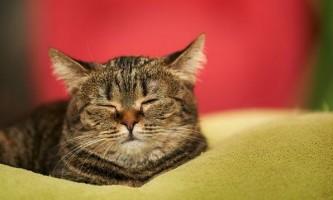 Чи варто каструвати кота?