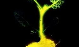 Сяючі рослини як заміна для електричних лампочок
