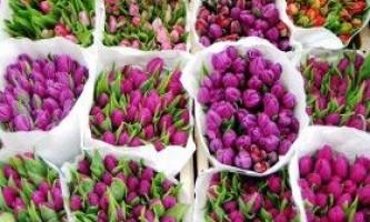Тюльпан: сорти, вирощування, вигонка