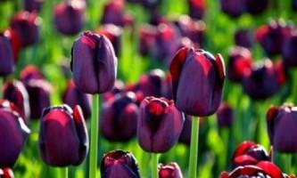 Тюльпани. Посадка і догляд