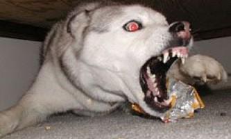 Топ 10 самих злісних собак