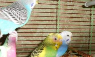 У папуги випадають пір`я: що робити?