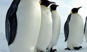 Вчені виявили найбільшого стародавнього пінгвіна