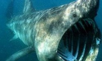 Вчені простежили за маршрутом акул-гігантів