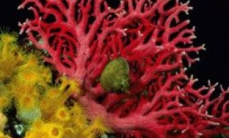 Вчені в пошуках найбільш живучих коралів