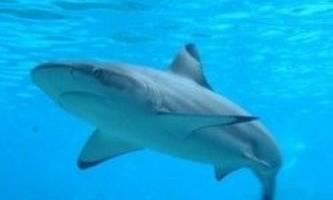 Вчені вперше виявили гібридних акул