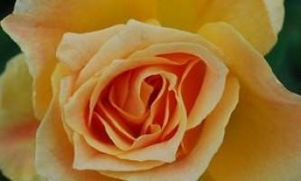 Вчимося правильно сушити троянди в домашніх умовах