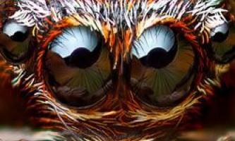 Дивовижні очі павуків-скакунів