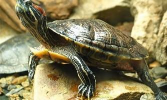 Догляд та утримання червоновухих черепах