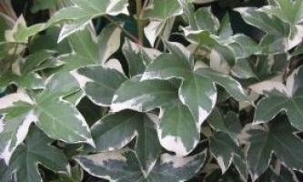 Догляд за фатсхедера - вічнозеленої ліаною