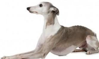 Уиппет: характеристика собаки і зміст